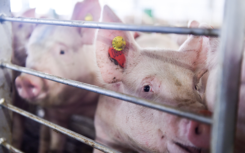 Construction of a pig-breeding complex in Primorsky Region